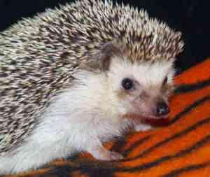 hedgehog-pic
